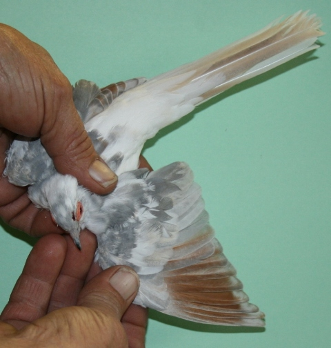 Diamondless Patterned Diamond Doves